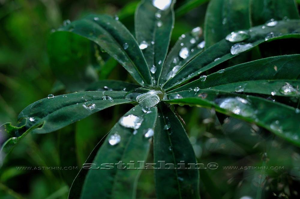Dew On Lupin Leaf