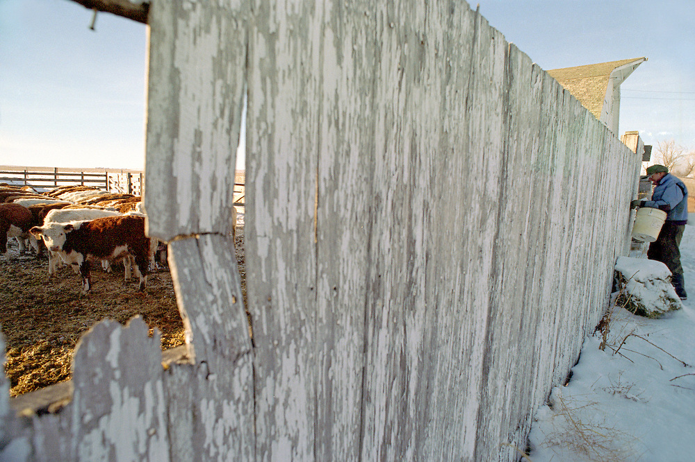 A farmer closes the fence after feeding his calves on his Colorado farm.