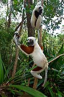 Coquerel's sifakas, (Propithecus coquereli), Madagascar Image by Andres Morya