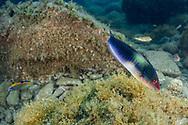 Ornate wrasse-Girelle paon (Thalassoma pavo), Pico Island, Azores Archipelago.