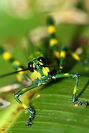 Alberto Carrera, Grasshopper, Tropical Rainforest, Napo River Basin, Amazonia, Ecuador, South America, America