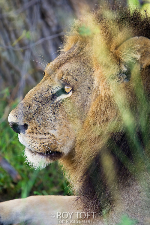 Close-up portrait of an African Lion (Panthera leo), Botswana.