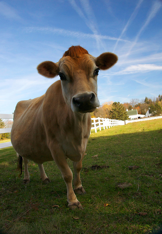 Lorina is a Jersey cow which is a small breed of dairy cows.  Jersey cows are popular due to their high butterfat content in their milk.