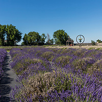 Purple Ridge Lavendar Farm Festival in Hermiston, Oregon