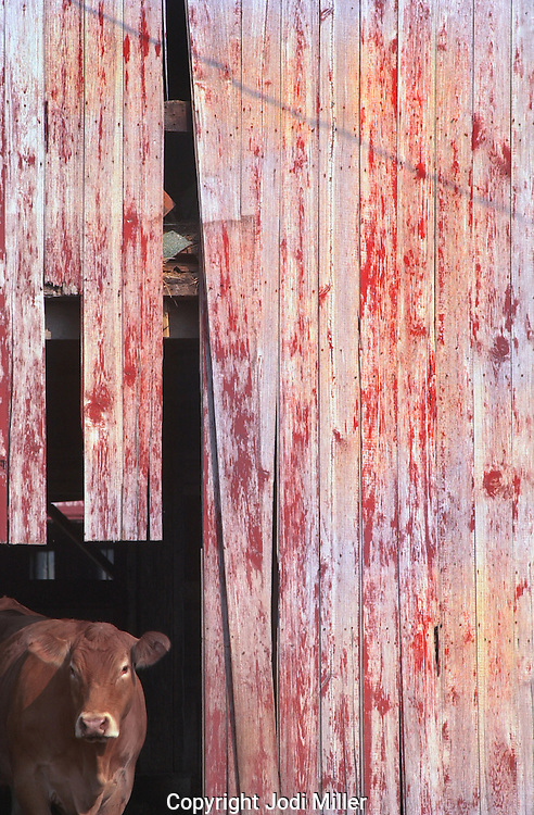 A cow peeking out of the corner of a red barn.
