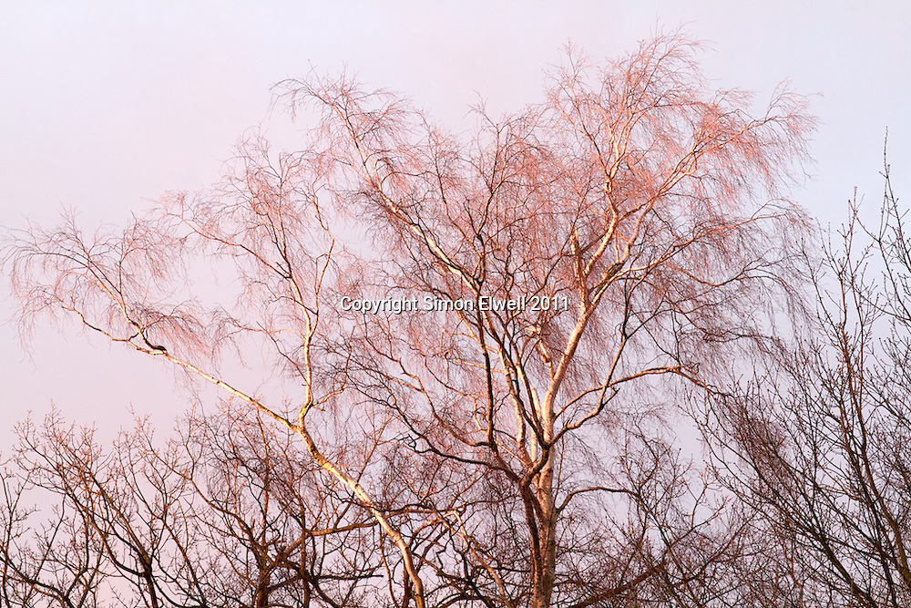 Tree without leaves in the pink winter evening sunlight
