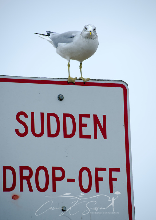 A seagull sits on a sign at Dauphin Island, Ala., Dec. 25, 2011. (Photo by Carmen K. Sisson/Cloudybright)