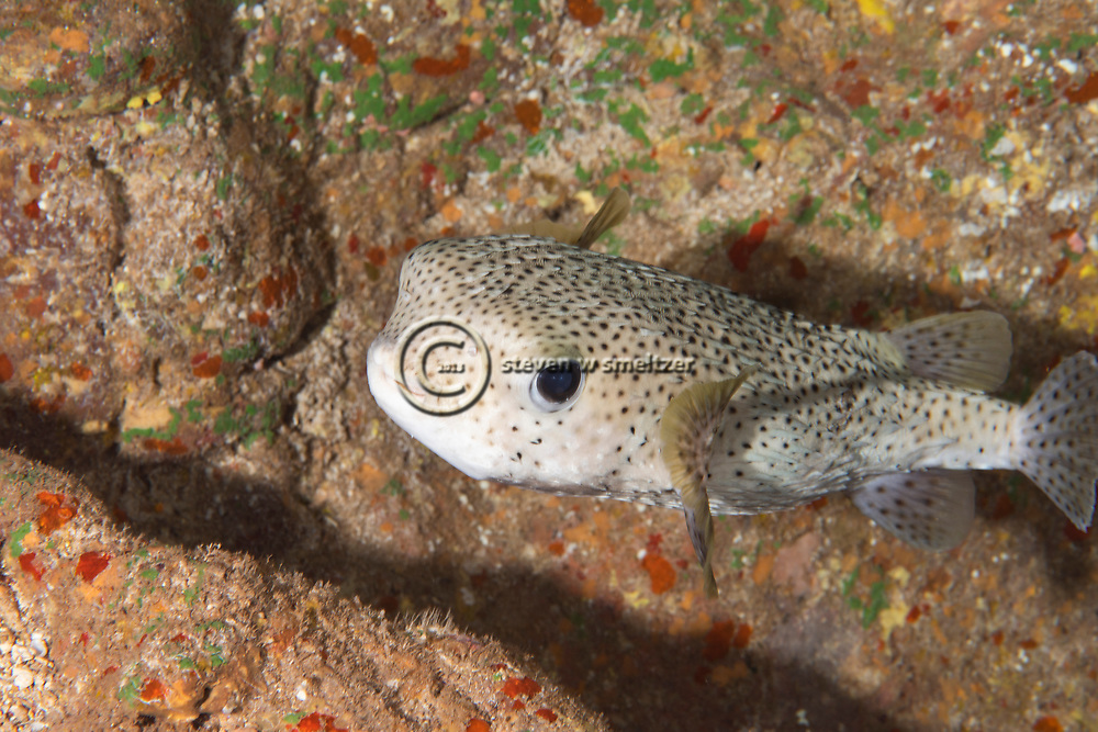 Giant Porcupinefish, Diodon hystris, Maui, Hawaii