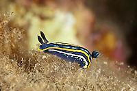 Nudibranch Chromodoris (Hypselodoris tricolor) Larvotto Marine Reserve, Monaco, Mediterranean Sea<br /> Mission: Larvotto marine Reserve