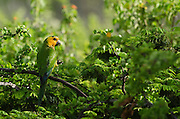 Caribbean Parakeet or Brown-throated Parakeet (Aratinga pertinax xanthogenia)<br /> BONAIRE, Netherlands Antilles, Caribbean<br /> HABITAT & DISTRIBUTION: Woodland, Savannah and Scrub<br /> Netherlands Antilles, Caribbean