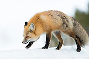 Red Fox (Vulpes vulpes) walking on a snow bank, Yellowstone National Park, Wyoming