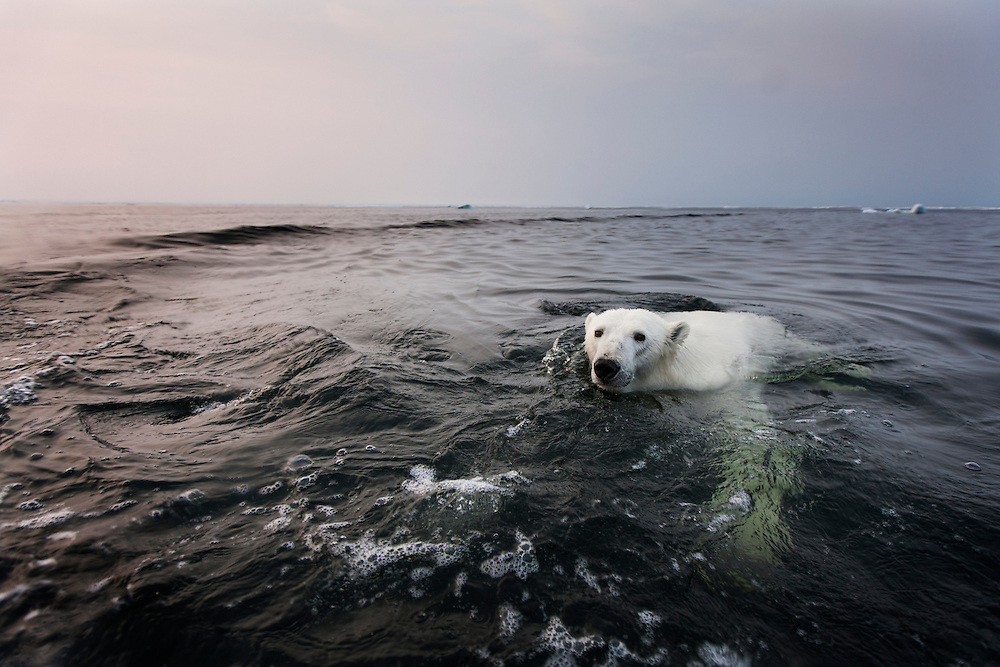 Canada, Manitoba, Churchill, Polar Bear (Ursus maritimus) swimming in Hudson Bay at sunset on summer evening