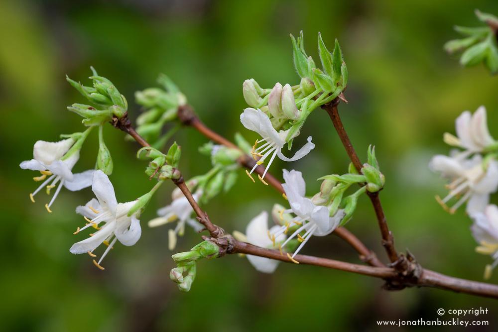 Lonicera fragrantissima. Winter flowering honeysuckle