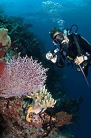 The reefs of Raja Ampat are some of the most diverse and healthiest in the world, and new species are discovered every year.  It is thought Raja Ampat may be home to an endemic species of pygmy seahorse.