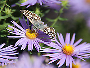 Common Checkered Skipper; Pyrgus communis; on aster; Philadelphia, PA