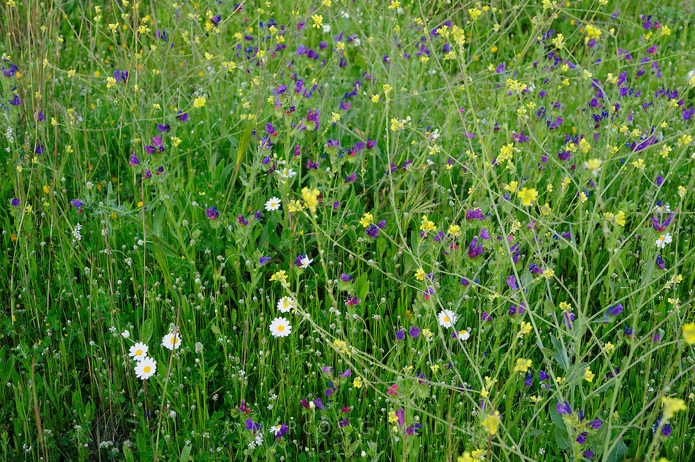 EN. Field covered with wild flowers formed by Purple Viper's Bugloss (Echium plantagineum), Oxeye daisy (Chrysanthemum leucanthemum) and Wild rocket (Diplotaxis virgata). Andalucia, Spain.<br /> ES. Campo de flores silvestres compuesto por Viborera (Echium plantagineum), margarita (Chrysanthemum leucanthemum) y Jaramago (Diplotaxis virgata). Andaluc&iacute;a, Espa&ntilde;a.