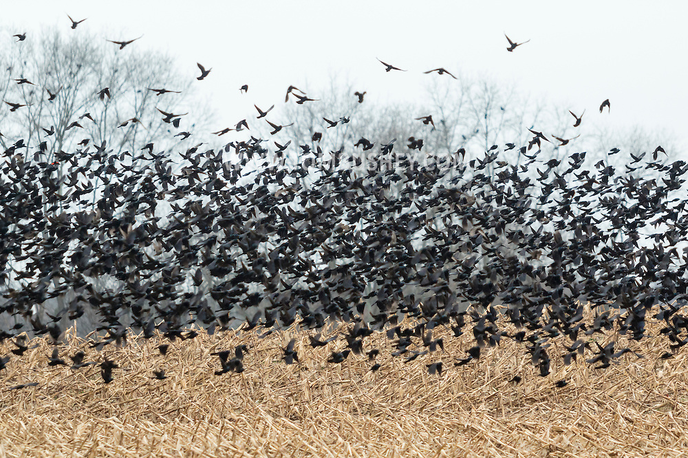 Town of Wallkilll, New York - A large flock of birds flies over a cornfield on Nov. 24, 2016.