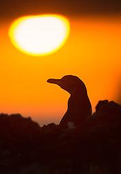 Galapagos penguin (Spheniscus mendiculus) in Isabela, Galapgos
