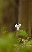 Ontario's Provincial flower, the Trillium, in Spring bloom...2349x3888 pixels original size.
