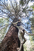 A Walker hound shows it's enthusiasm for a treed  black bear during an Idaho bear spring hunt.