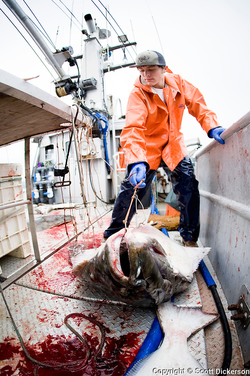 Commercial halibut fishing deckhand, Keith Bell, at work in the Aleutian Islands, Alaska.