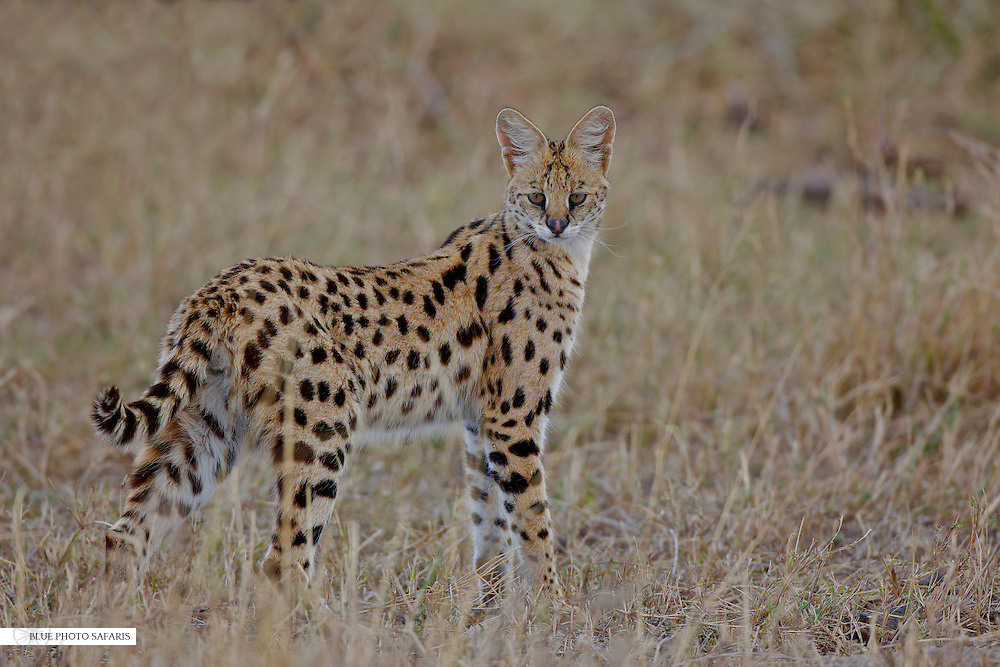 Serval cat in the Central Serengeti
