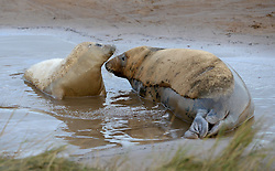 © Licensed to London News Pictures. 19/11/2015. North Somercotes, UK. A grey seal pup with its mother at Donna Nook Nature Reserve, North Somercotes, Lincolnshire. Every November and December the grey seals come ashore and give birth to their pups near to the sand dunes at the reserve. Photo credit : Anna Gowthorpe/LNP