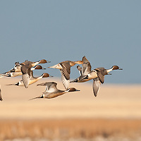 courtship flight, northern pintail ducks courship flight over brown wetland with blue sky, close up