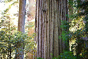 A giant Redwood in sunlight in the lush evergreen forest of Jedediah Smith Redwoods State Park.