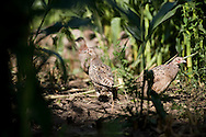 Two birds camouflaged by maize in an open-air pen for pheasants at Hy-Fly Hatcheries, a company based in Preesall, near Blackpool, Lancashire which specialises in breeding partridge and pheasant to be sold to sporting estates. The partridges are kept in small cages for up to three years while they mature before being sold. Pheasants are also kept in cages but are transferred to outdoor pens as they mature. The company, which is owned by Ray Holden, produces around three million day-old chicks per year.