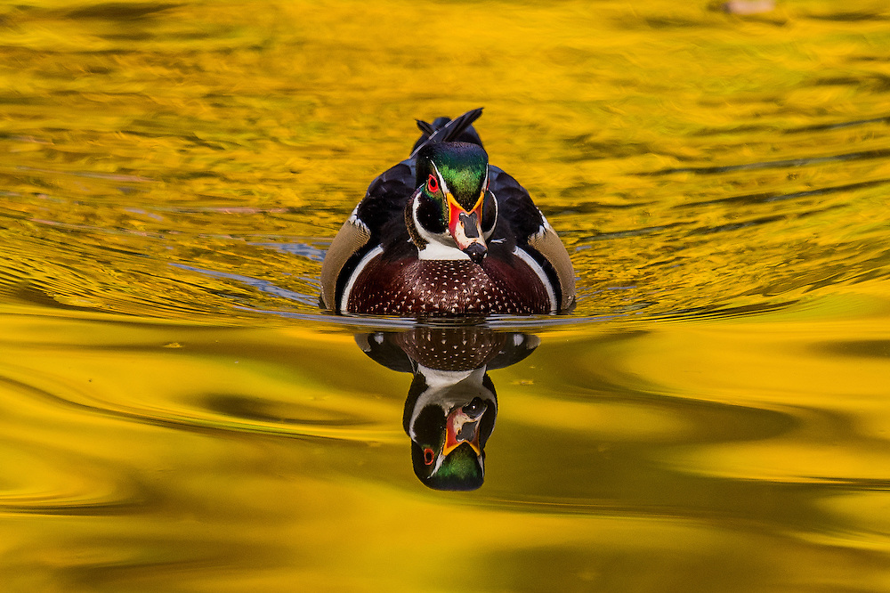 In this Friday, October 14, 2016 photograph, a wood duck drake swims through the reflections of fall color in a pond at Sterne Park in Littleton, Colorado. (Matt Dirksen)