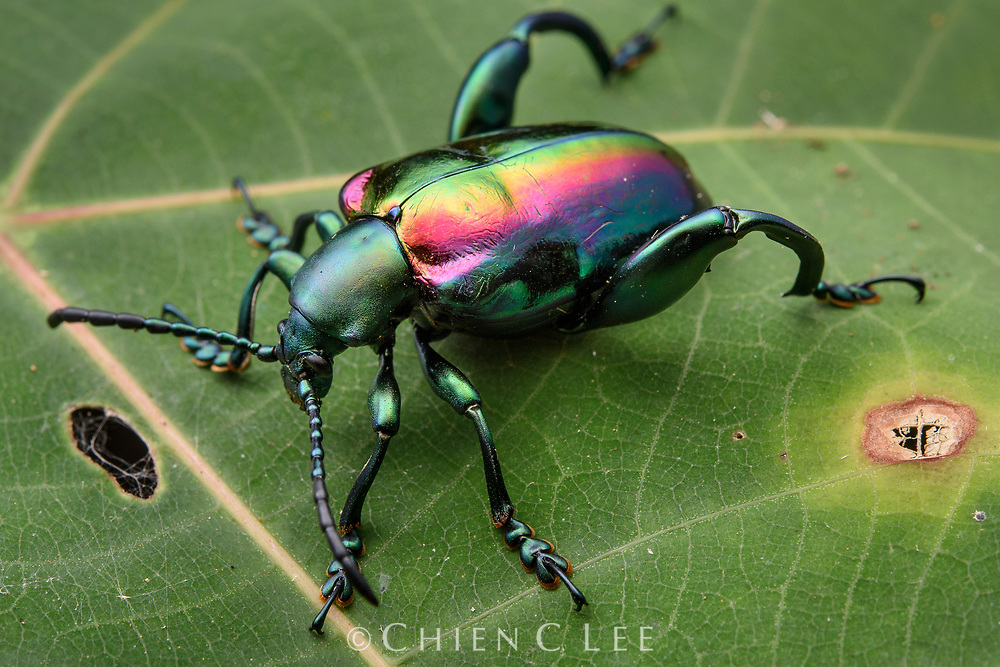 Frog-legged Leaf Beetle (Sagra buqueti), male. Among the most beautiful of all beetles, a jeweled frog-legged leaf beetle perches on foliage in the Borneo rainforest. With over a dozen species in the genus, Sagra beetles are characterized by their metallic colors and enlarged hind limbs. Rather than being jumpers as their name would otherwise suggest, their spiny hind legs are used in defense and probably also male-male combat.