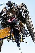 Bellingham, Northumberland, UK. 17th August 2017. Dr Nick Fox OBE and the Northumberland Crow Falcons hunting on horseback.
