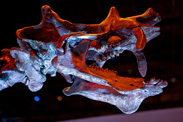 Stock photo of the head of a Uintatherium at the new Paleontology Hall at the Houston Museum of Natural Science