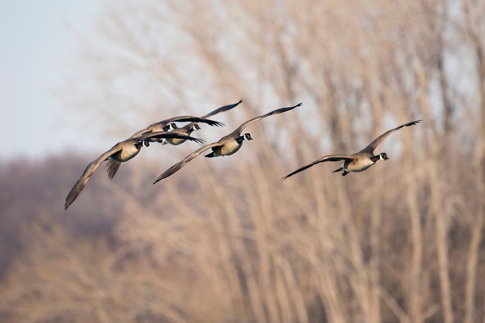 Canada Geese, Branta canadensis, Detroit River, Michigan