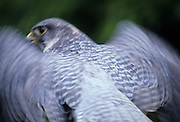 Portrait of a gyrfalcon (Falco rusticolus) in motion. captive.