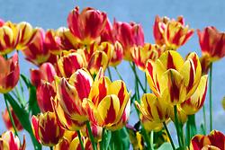 Vancouver, BC, Canada       May/2005.Jardim de tulipas amarelas e vermelhas./ Tulip garden, yellow and red..Foto Marcos Issa/Argosfoto