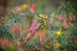 Euphorbia polychroma syn. E. epithymoides. Many coloured spurge, Cushion spurge