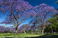 ARBOLES FLORECIDOS DE JACARANDA, BOSQUES DE PALERMO, CIUDAD DE BUENOS AIRES, ARGENTINA (PHOTO © MARCO GUOLI - ALL RIGHTS RESERVED)
