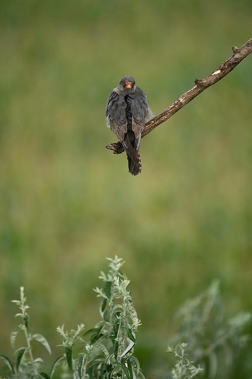 The Red-footed Falcon (Falco vespertinus) in Hortobagy National Park, Hungary
