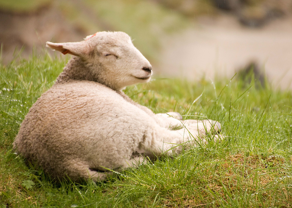 Happy lamb in the Lofoten Islands, Norway.