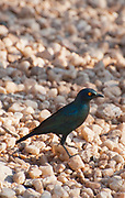 Cape glossy starling (Lamprotornis nitens). This starling is found throughout most of southern Africa. Like all starlings, it uses its sharp tapering bill to feed on insects and fruit. This starling also feeds on the nectar of aloes. It forms flocks of 6-10 birds that forage in trees or on the ground. Photographed in Etosha National Park, Namibia.