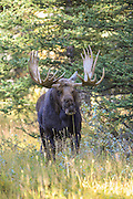 Shiras Moose in Habitat