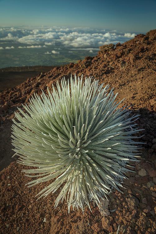 USA, Hawaii,Maui, Haleakala National Park, Silver Sword,Argyroxiphium sandwicense subsp. macrocephalum
