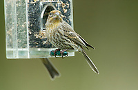 House Finch (Carpodacus mexicanus), Feeder in garden, Courtenay, Vancouver Island, Canada   Photo: Peter Llewellyn