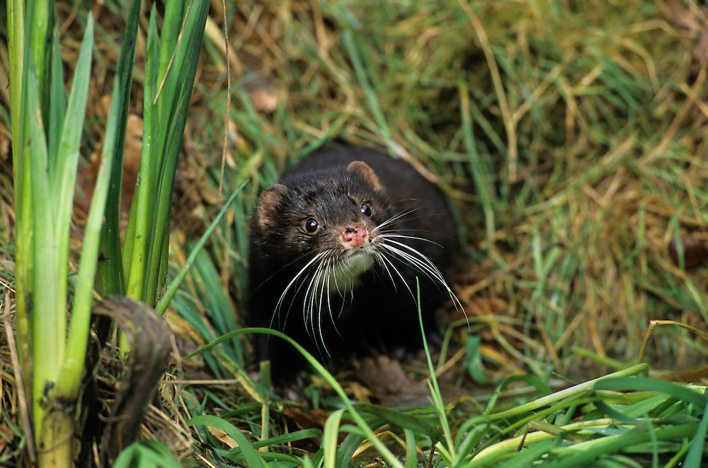 American mink (Neovison vison). Captive, Wildwood Trust, Kent, UK. Introduced to the UK by accidental and deliberate release from fur farms the mink has had a devastating effect on water vole populations. The female is the only predator able to access underwater entrances to water vole breeding burrows.