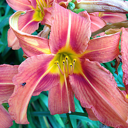 Day Lilly, Castine, Maine, US