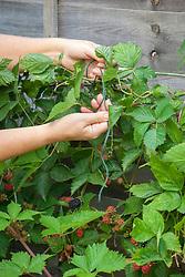 Tying in blackberries in summer