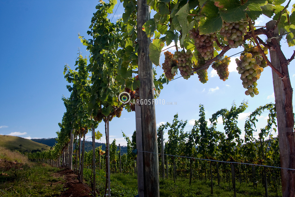 Cachos de uva Gewurstraminer/ Gewurstraiminer bunch of grapes. Ano/Year 2010. Sao Joaquim, SC.