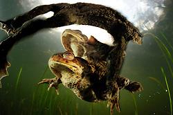 Common european toad {Bufo bufo} two males attempting to mate with one female. Solling in the Central German Upland. Solling, Germany   Relativ langsam und stoisch wandern die Erdkröten (Bufo bufo ) im Frühjahr zu ihren angestammten Laichgewässern. Fühlt sich aber ein Männchen, das sich bereits auf seiner viel größeren Auserwählten festgeklammert hat, von einem Rivalen herausgefordert, kann es zu hitzigen Gefechten und abwehrenden Tritten kommen. Bedingt durch einen natürlicherweise sehr großen Überschuss an männlichen Erdkröten sind sowohl auf der Wanderung als auch im Wasser solche Szenen an der Tagesordnung – und die lauten Protestrufe von Männchen, die sich in der Umklammerung eines allzu eifrigen Geschlechtsgenossen wiederfinden, begleiten das Schauspiel. (Deutschland)